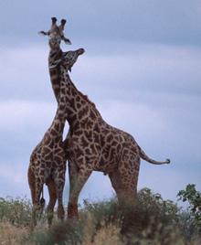 giraffe_tz